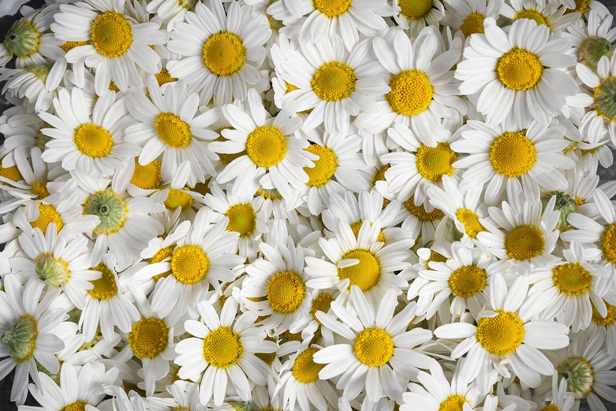 Chamomile producer